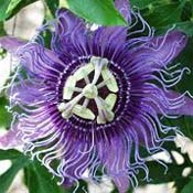 Passion flower. Image courtesy of University of Florida